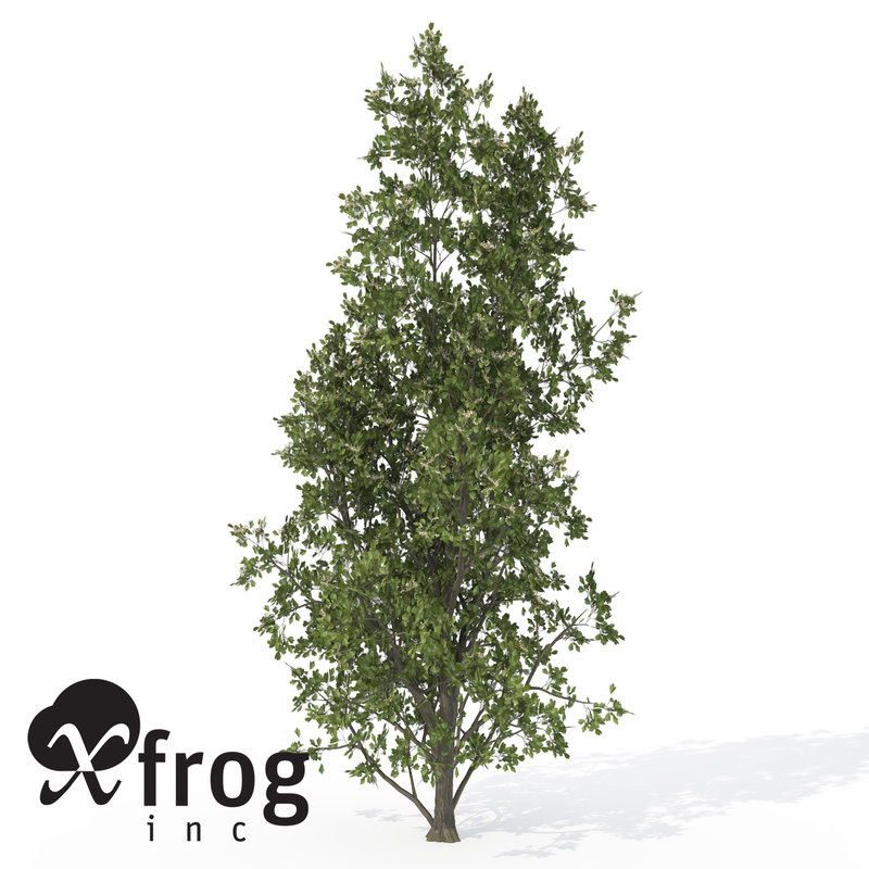 xfrogplants common hawthorn plant 3d model