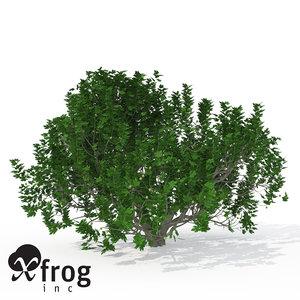 3d model xfrogplants fig tree