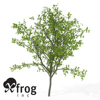 3d model xfrogplants european buckthorn europe
