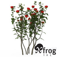 maya xfrogplants hundred-leaved rose
