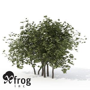 xfrogplants european cranberry bush lwo