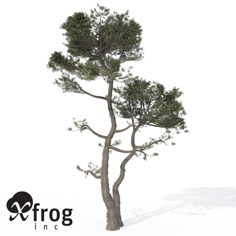 3d model xfrogplants monterey cypress tree