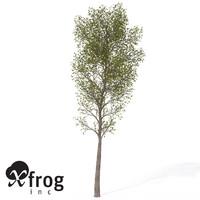 3d model xfrogplants balsam poplar tree