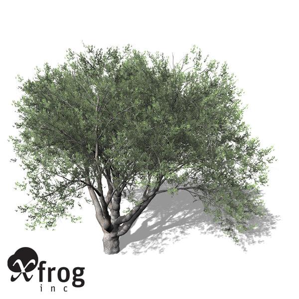 coast live oak tree 3d model