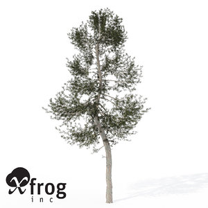 xfrogplants austrian black pine max