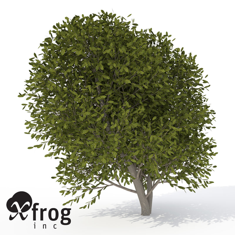 3d model xfrogplants cherry laurel tree