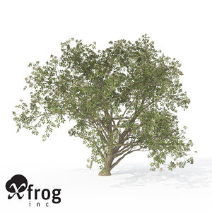 3d xfrogplants elderberry tree plant