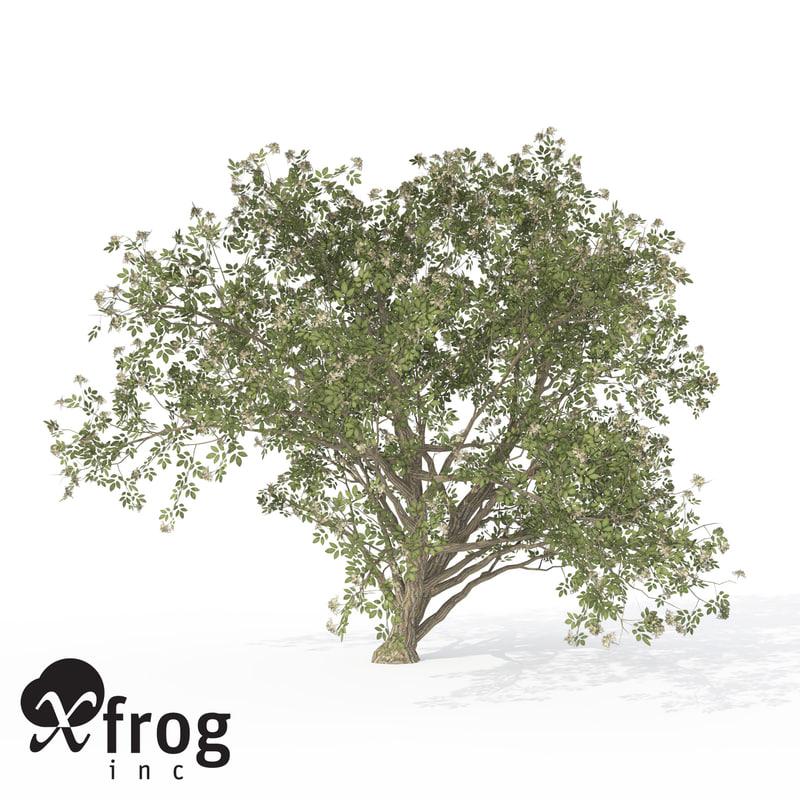 3d xfrogplants elderberry tree plant