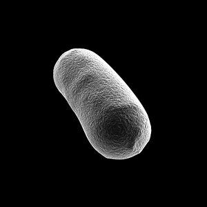 3d bacillus bacteria model