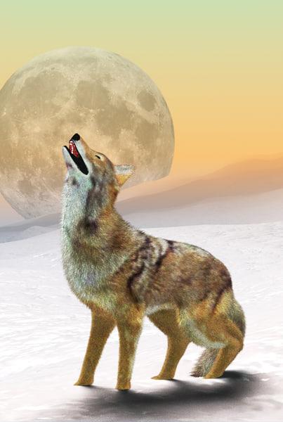 lwo coyote fur