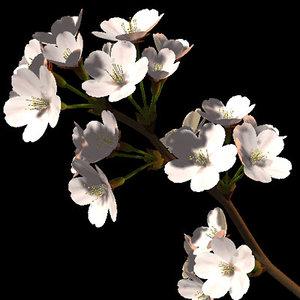 yoshino cherry someiyosino 3d model