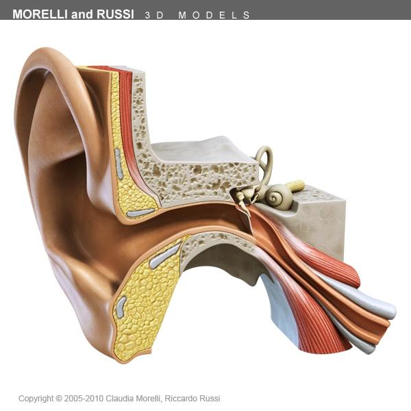 3ds max internal ear