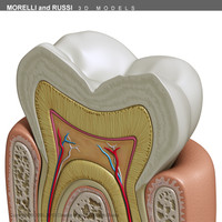 tooth section 3d model