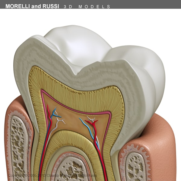 morelli russi tooth bryce 3d model