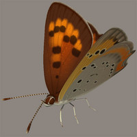 Small Copper(Benisizimi)