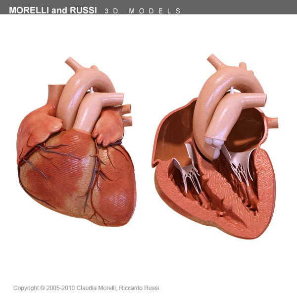 morelli human heart section 3d model