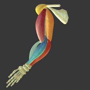 muscle arm 3d model