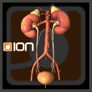 medically kidneys 3d model