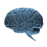 brain cerebellum 3d model