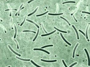 3d model realistic bacterias cells