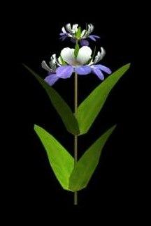 flower blue eyed mary 3d model