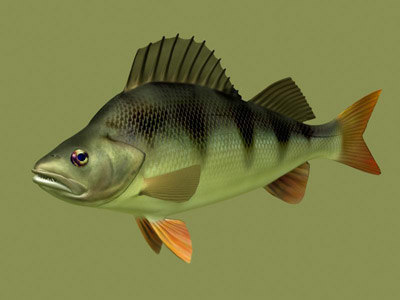3d perch perca fluviatilis model