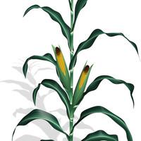 max corn plant