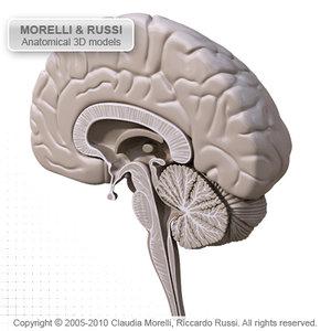 brain section human 3d max