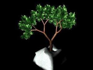 bonzai tree ma