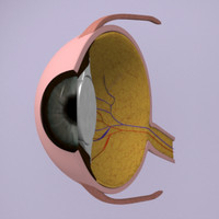 3d model eye section