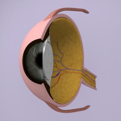 3d model eye section