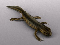smooth newt (european)