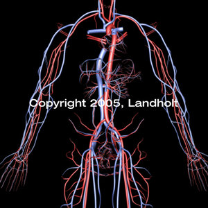 anatomically arteries veins 3d model