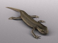 3d female smooth newt model