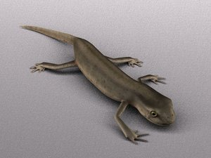 3d female smooth newt model