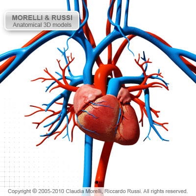 morelli circulatory heart 3d model