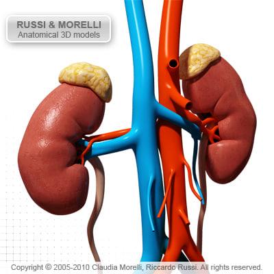 uro genital organ 3d model