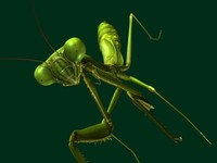 female praying mantis v2 3d obj
