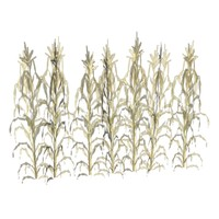 crops growth corn wheat 3d model