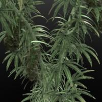 MarijuanaPlant_LWS.zip