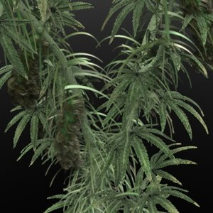 marijuana plant lwo