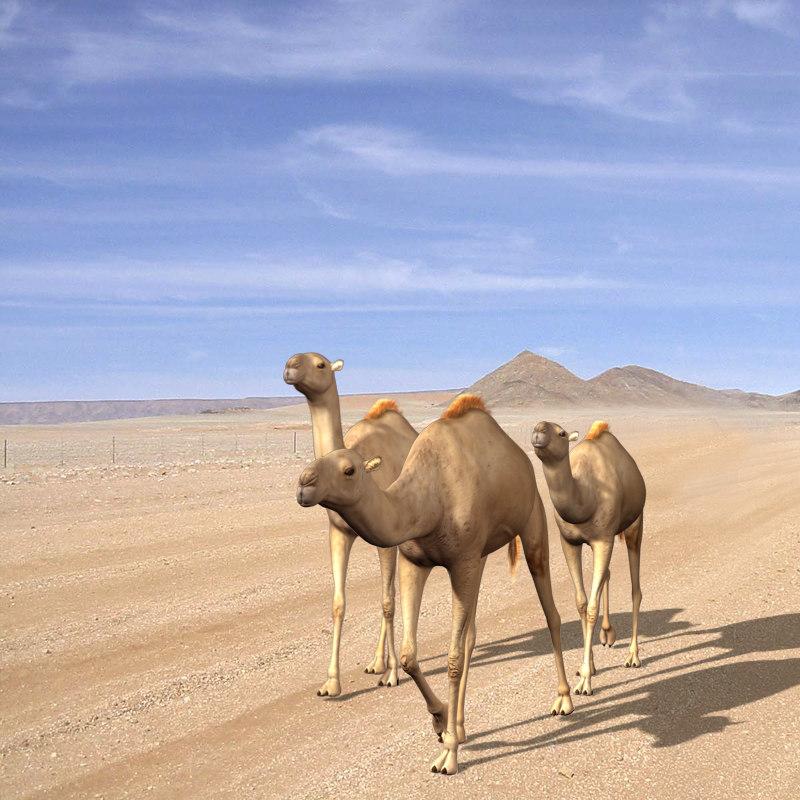 maya camels