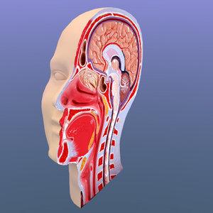 head cutaway 3d model