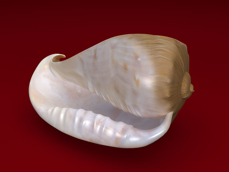 seashell cassis 3d model