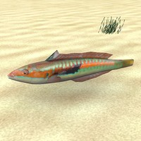 3d model low-poly fish coris julis