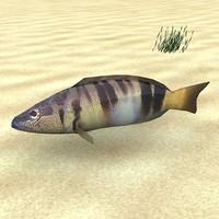 max fish serranus scriba