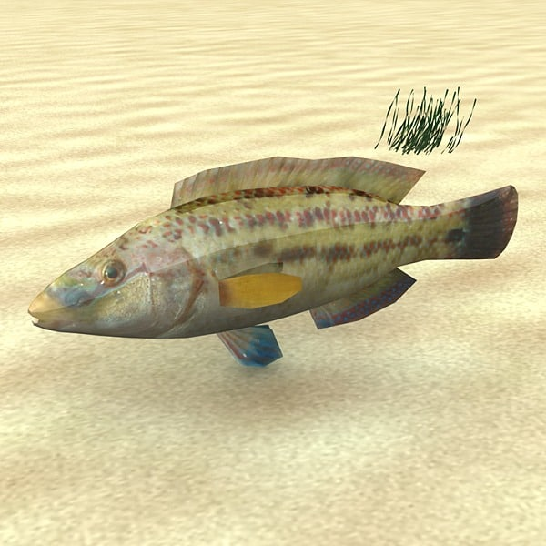fish low-poly symphodus 3d model