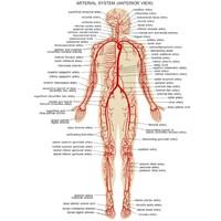 poligraph human arterial 3d model