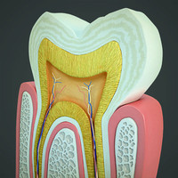 tooth section obj