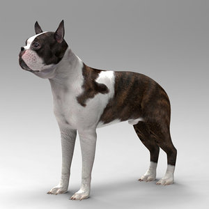 3d model boston terrier